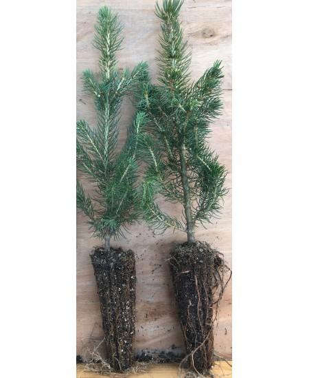 Sidabrinės eglutės sodinukas vazonėlyje, 20 - 30 cm
